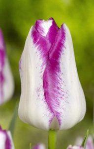 Тюльпан-Аffaire-(Эффейр)