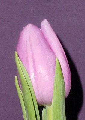 Тюльпан-Аlibi-(Алиби)