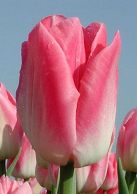 Тюльпан-Dynasty-(Династи)