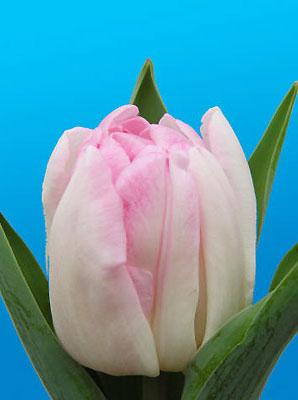 Тюльпан-Foxtrot-(Фокстрот)