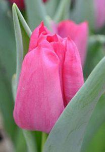 Тюльпан-Sweet-Rosy-(Свит-Рози)