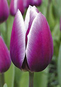 Тюльпан-Synaeda-Blue-(Синейда-Блю)