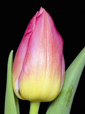 Тюльпан-Tom-Pouce-(Том-Поус)