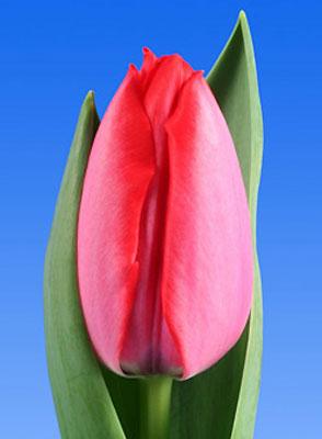Тюльпан-Trick-(Трик)