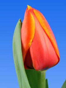 Тюльпан-Triple-A-(Трипле-А)