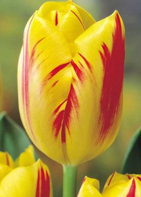 Тюльпан-Washington-(Вашингтон)