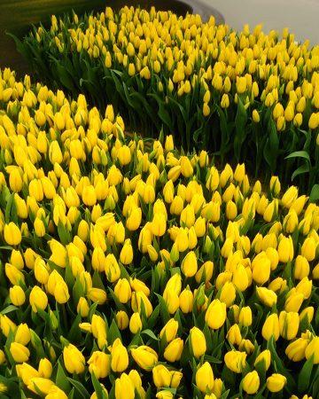 И другие сорта тюльпанов
