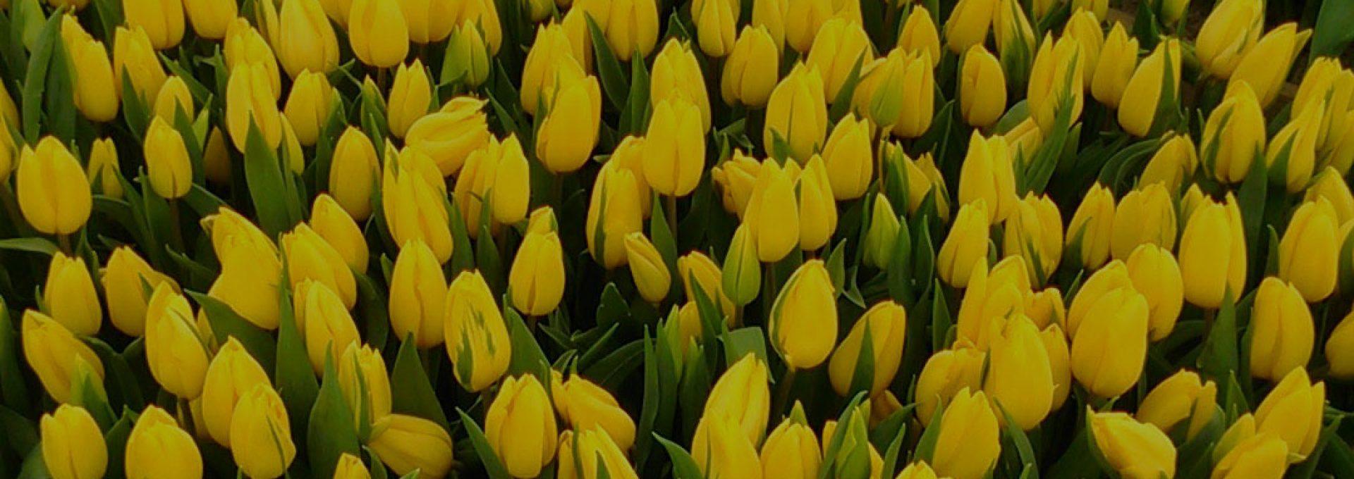 Тюльпаны оптом по лучшей цене