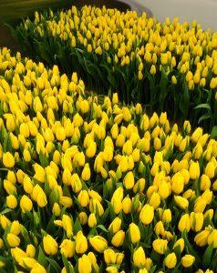 тюльпаны оптом цена