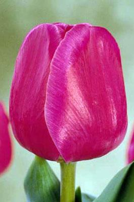Тюльпан-Carola-(Карола)