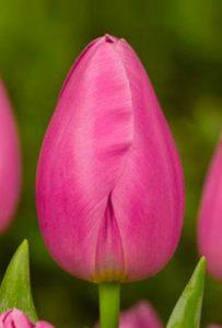 Тюльпан Pink Ardour (Пинк Ардур)