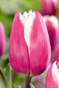Тюльпан Yolly (Йолли)
