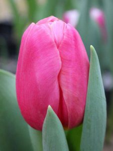 Тюльпан ace pink