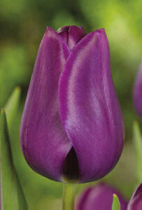 Purple-Lady-(Парпл-Леди)